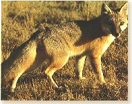 Vulpes vulpes - Red Fox  Click Image for information: range, behavior, etc.